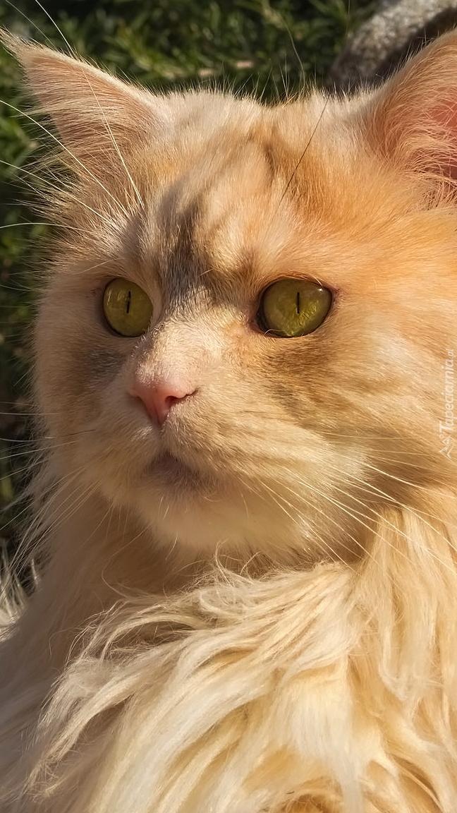 Rudawy kot