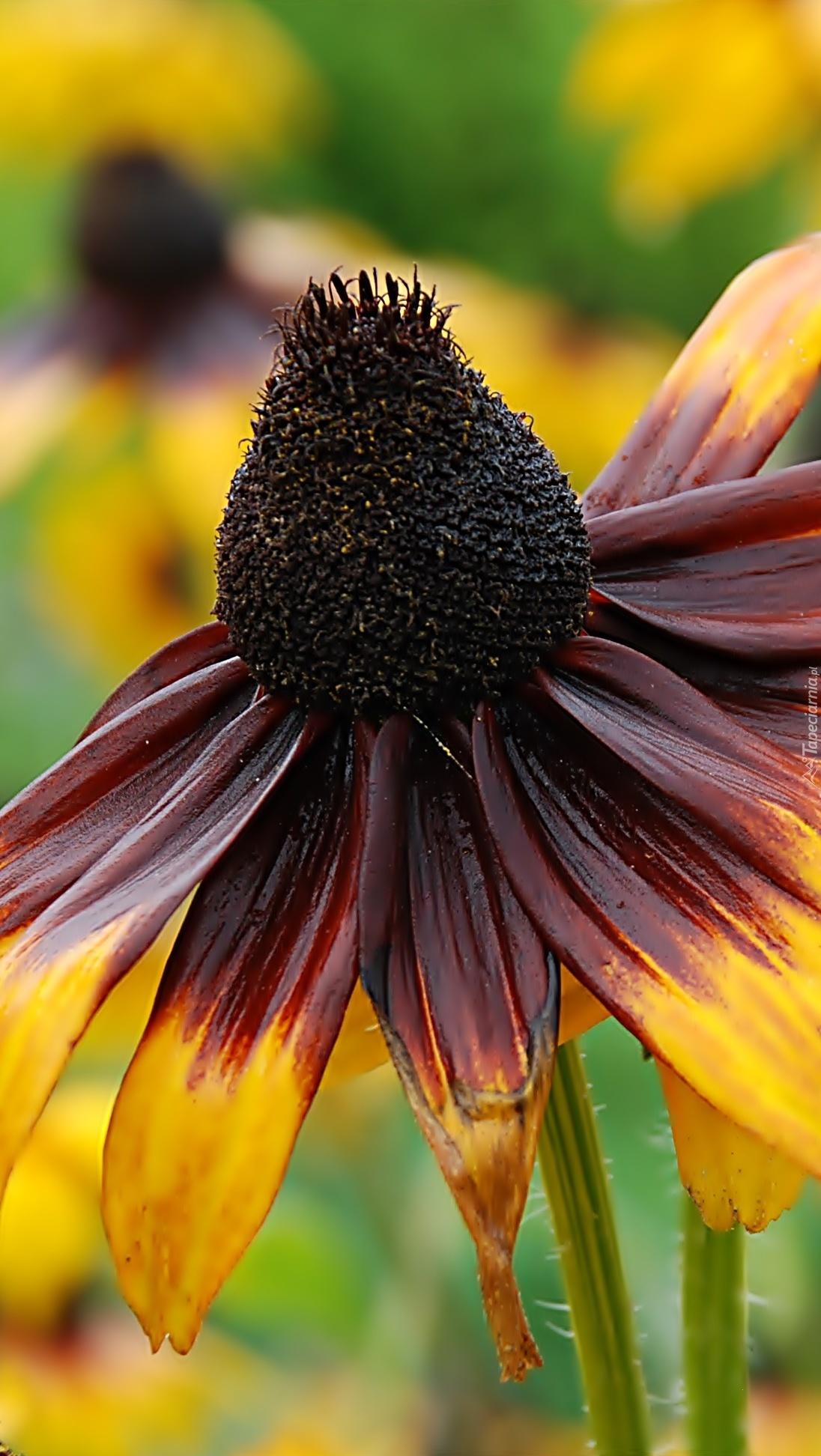 Rudbekia brązowo-żółta