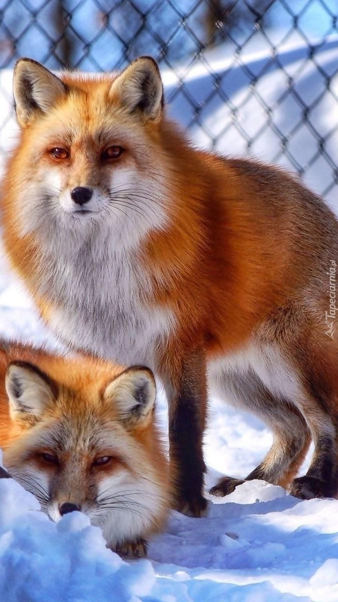Rude liski w klatce na śniegu