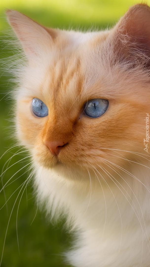 Rudo-biszkoptowy kot o niebieskich oczach