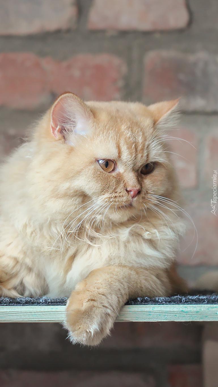 Rudy kot brytyjski długowłosy