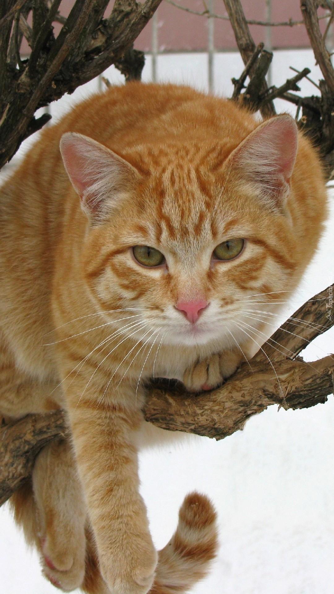 Rudy kot na gałęzi