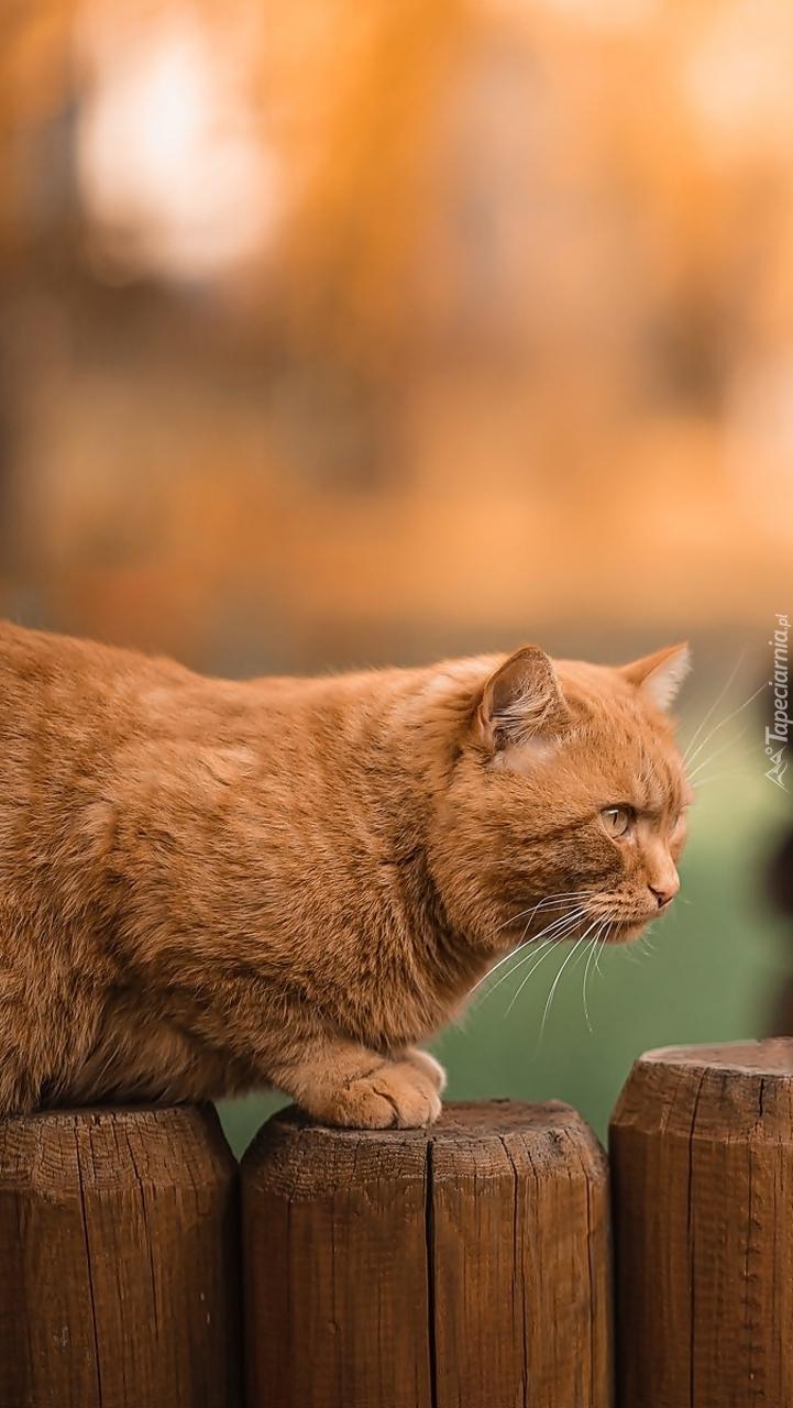 Rudy kot na płocie
