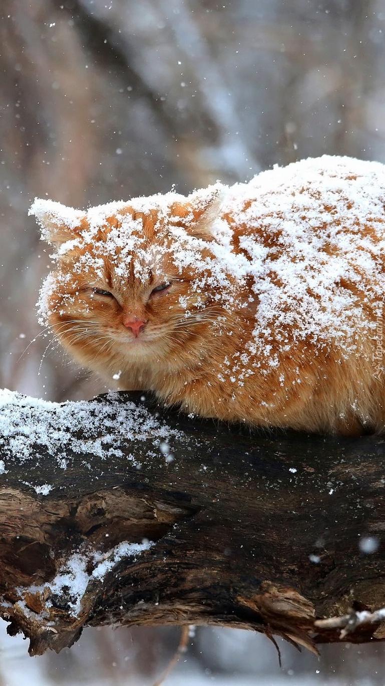 Rudy kot przyprószony śniegiem