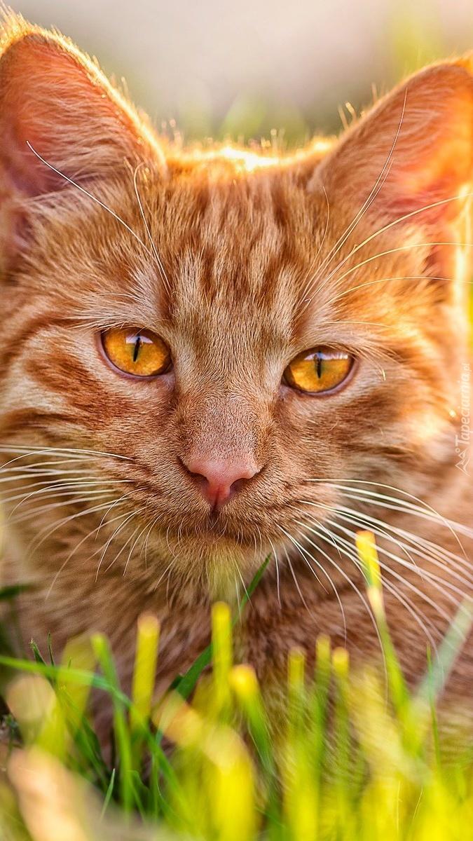 Rudy Kot W Trawie Tapeta Na Telefon