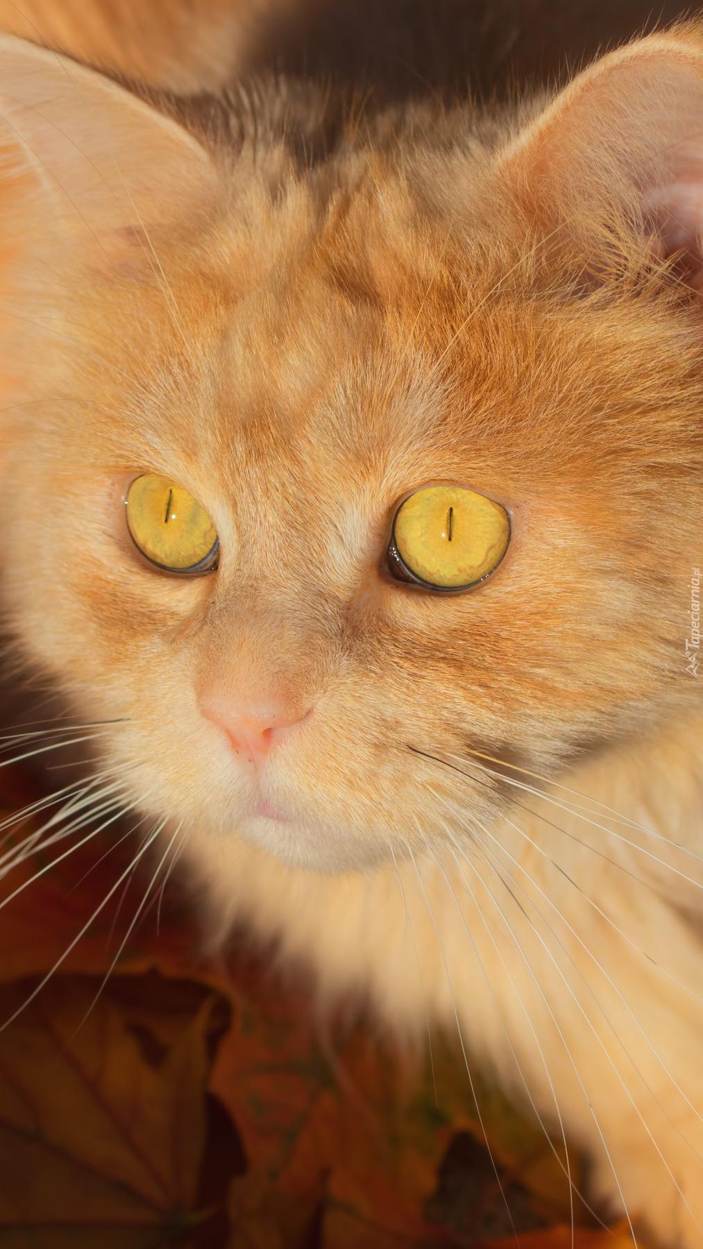 Rudy kot z miodowymi oczami