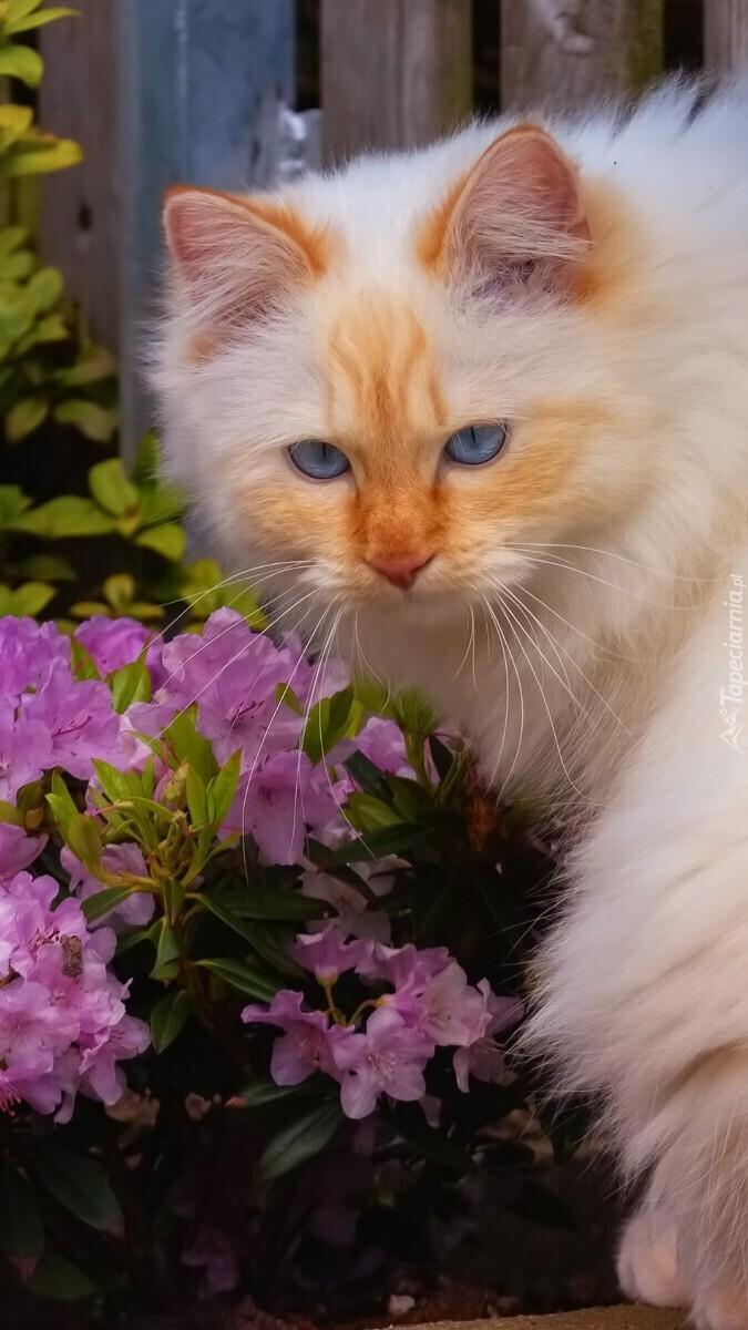 Rudy kot z niebieskimi oczami