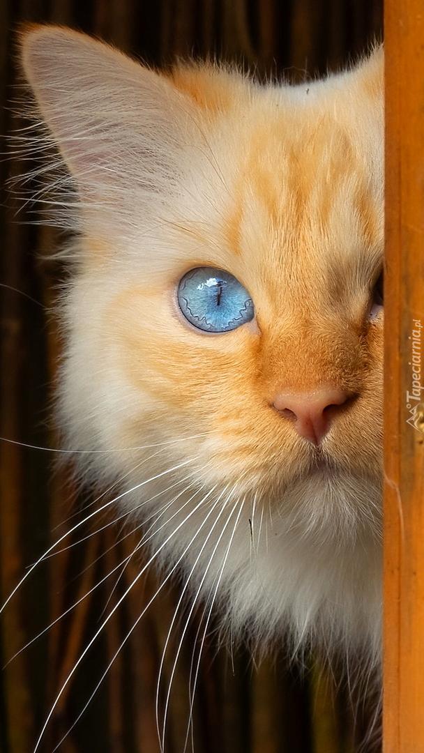 Rudy kot zerkający zza rogu