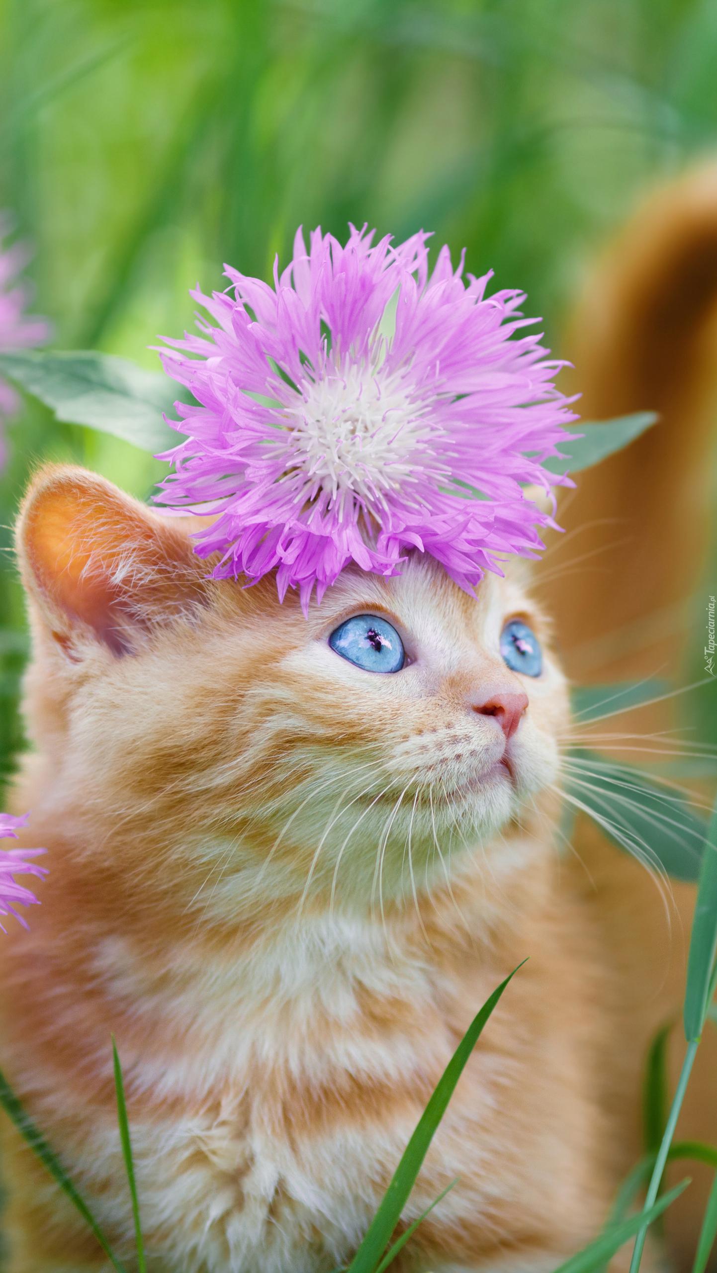 Rudy kotek z chabrem amerykańskim