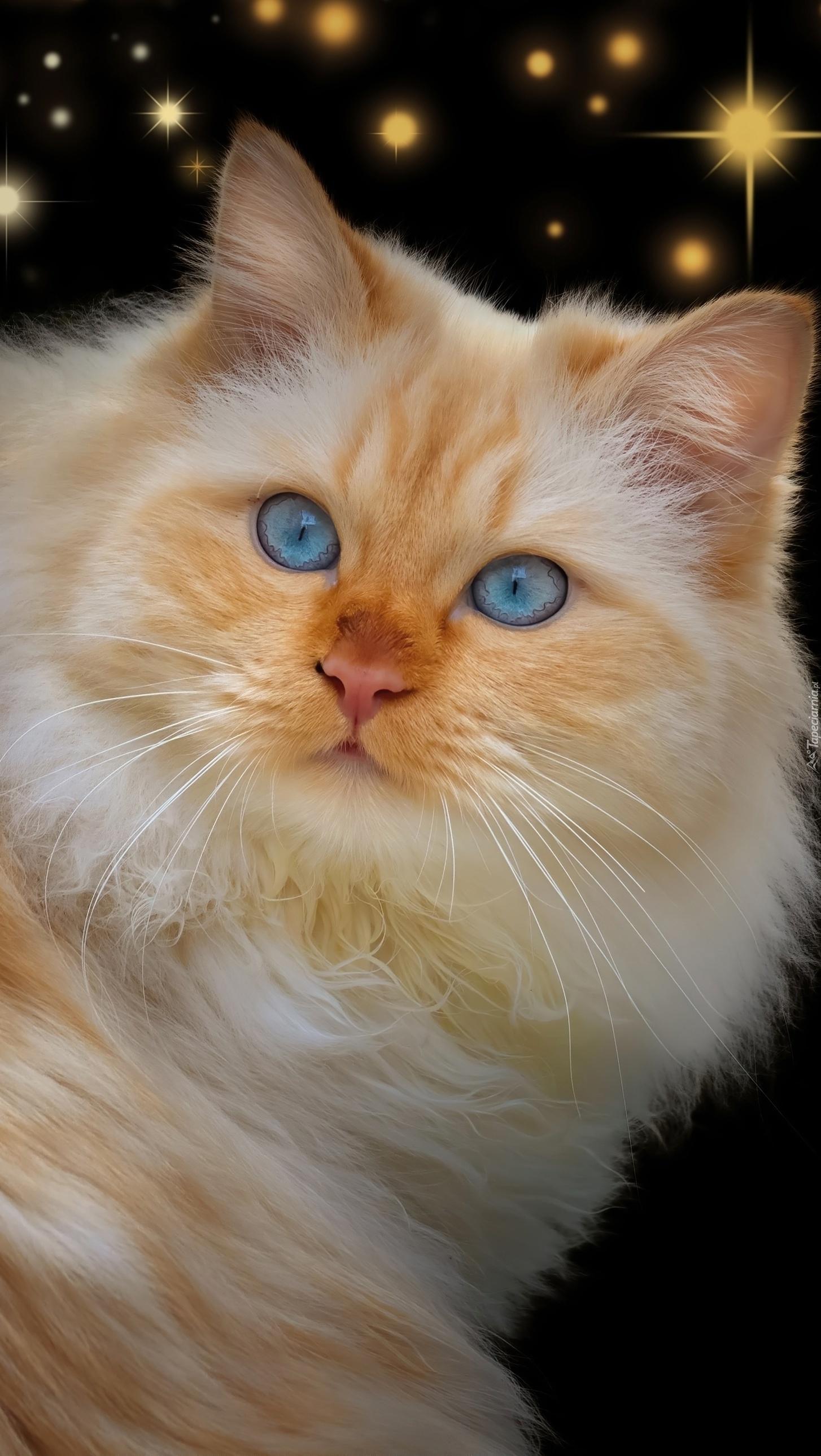 Rudy kotek z niebieskimi oczami