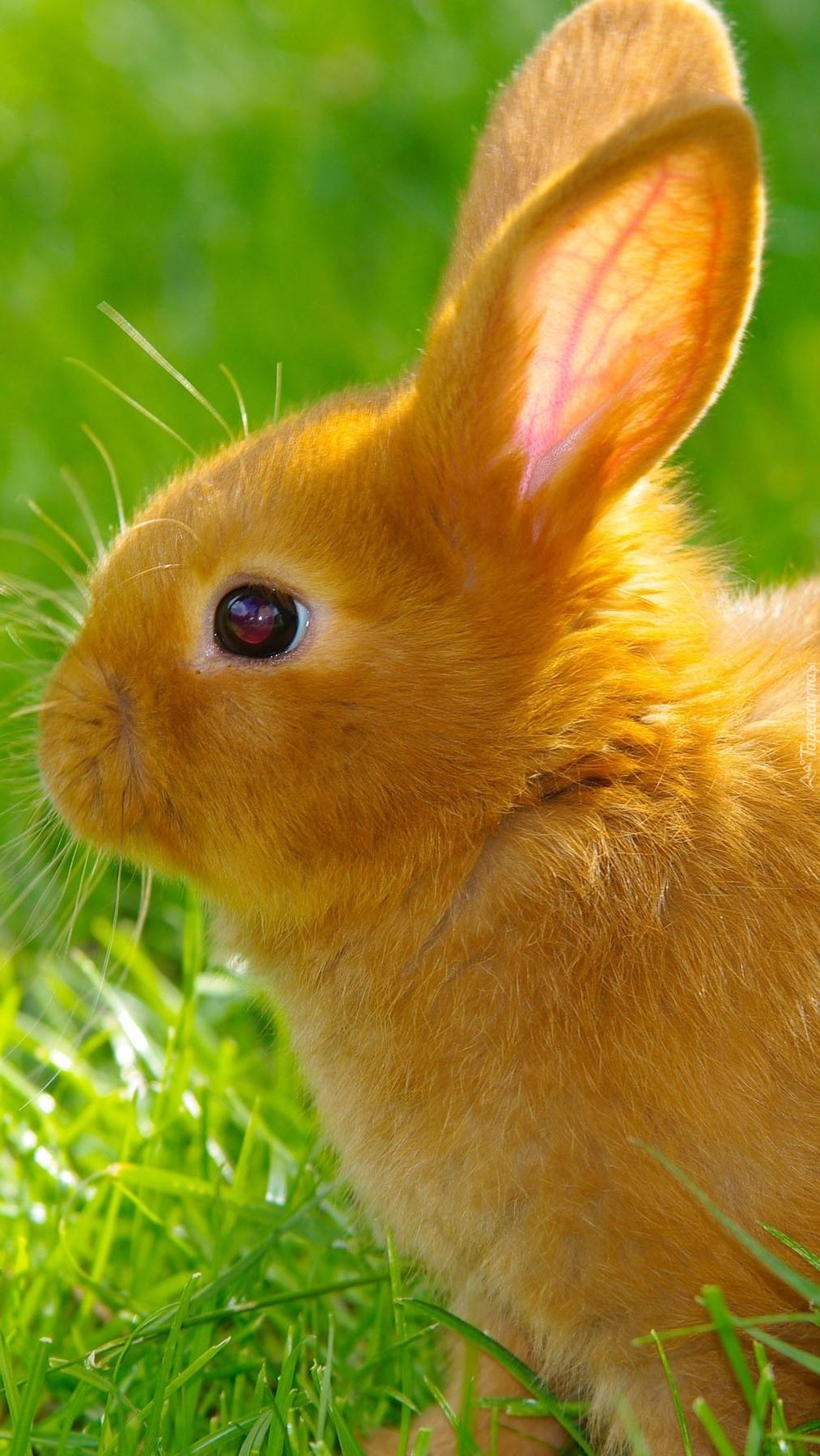 Rudy królik