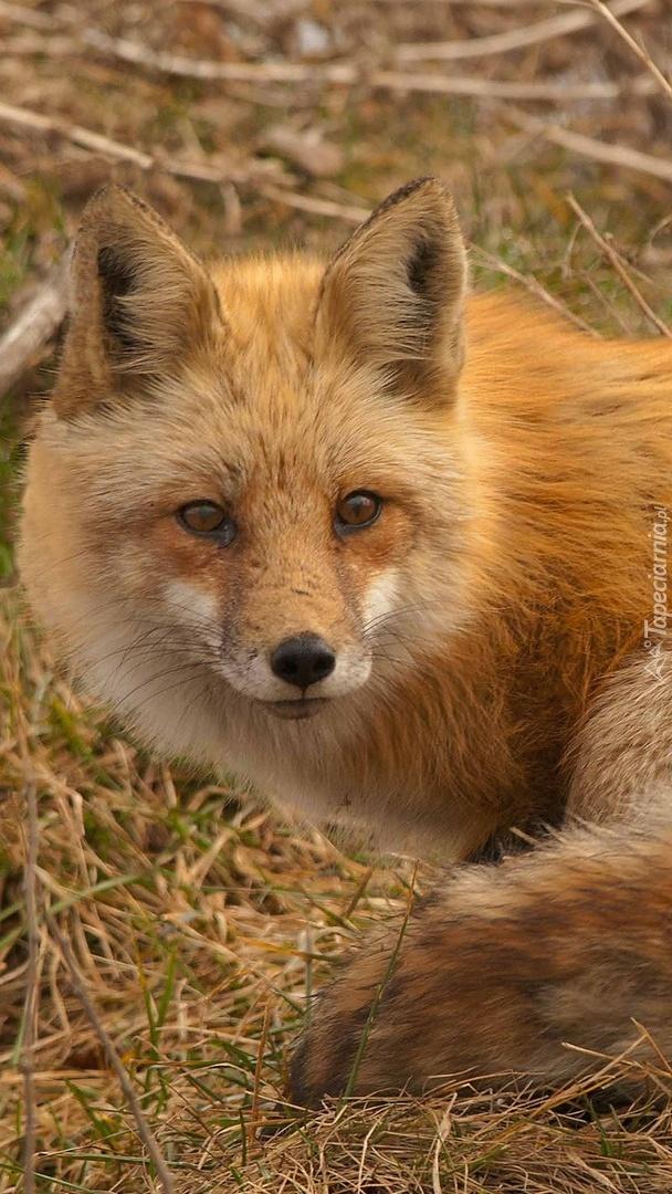 Rudy lis na jesiennej łące