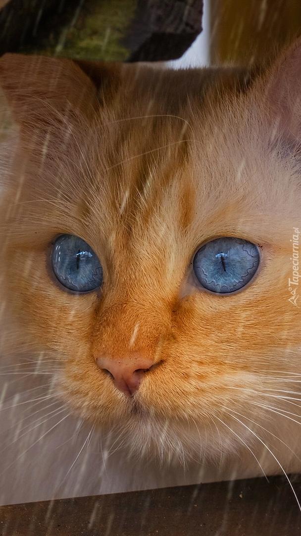 Rudy niebieskooki kot