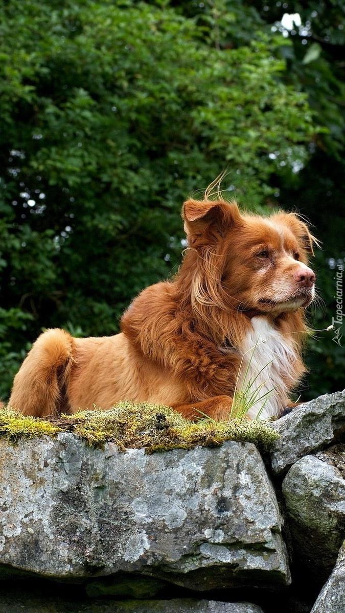 Rudy pies na kamieniach
