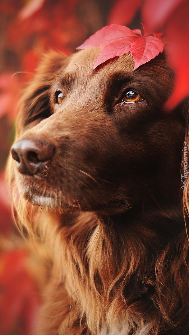 Rudy pies z listkiem na głowie
