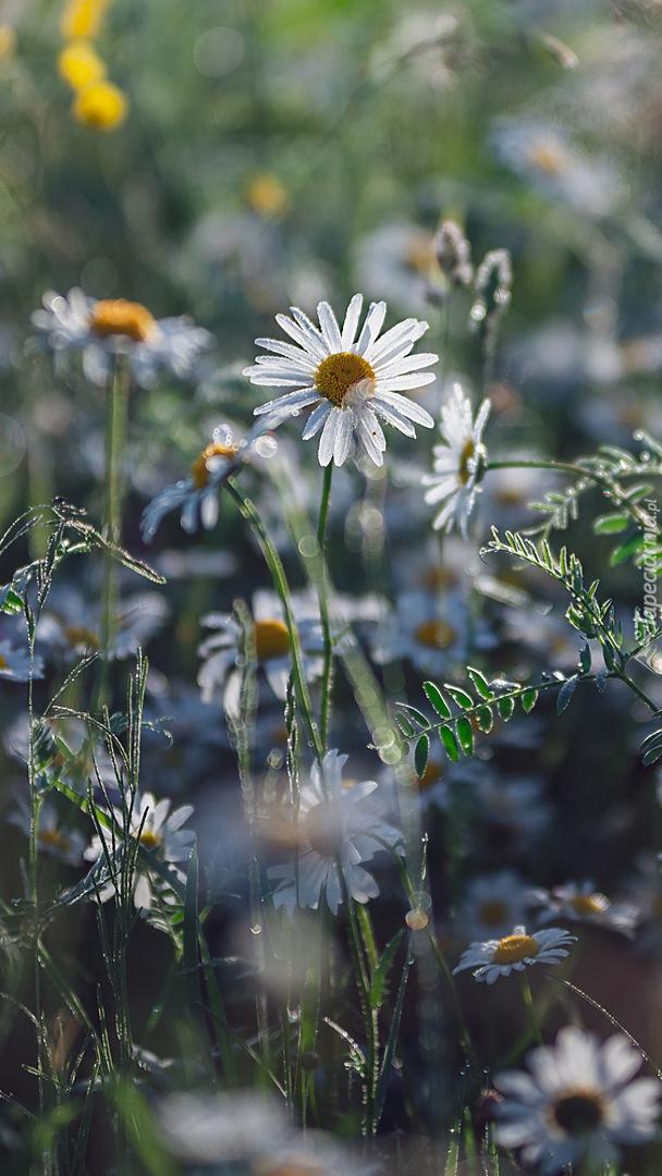 Rumianki w trawie
