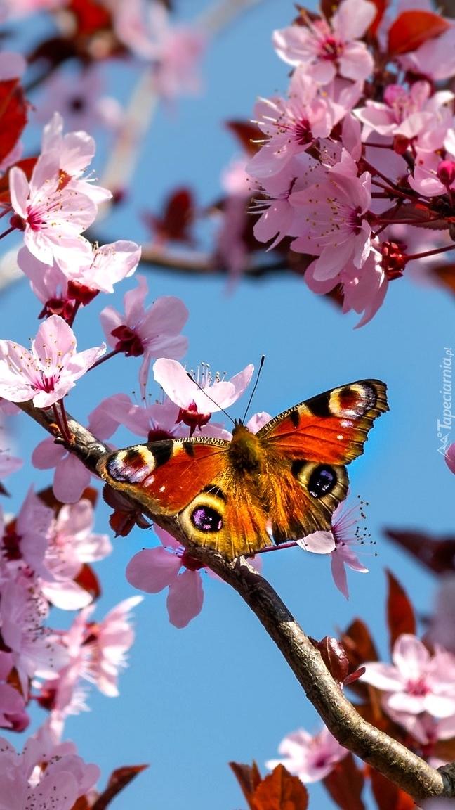 Rusałka pawik na kwitnącej wiśni