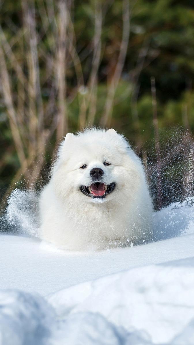 Samojed w śniegu