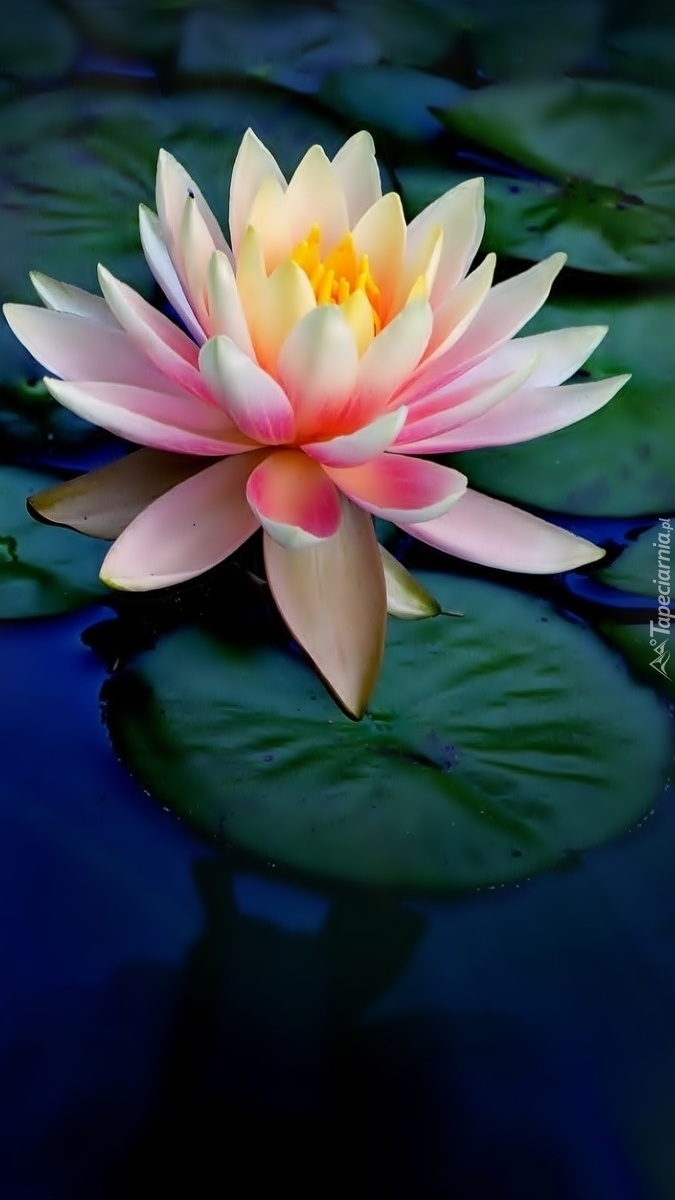 Samotna lilia