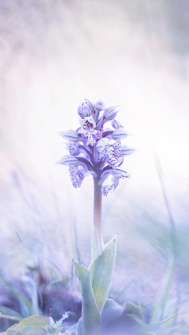 Samotny fioletowy storczyk