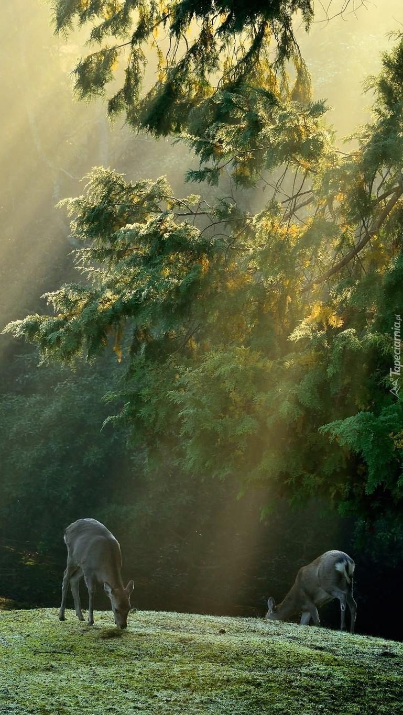 Sarenki w lesie w promieniach słońca