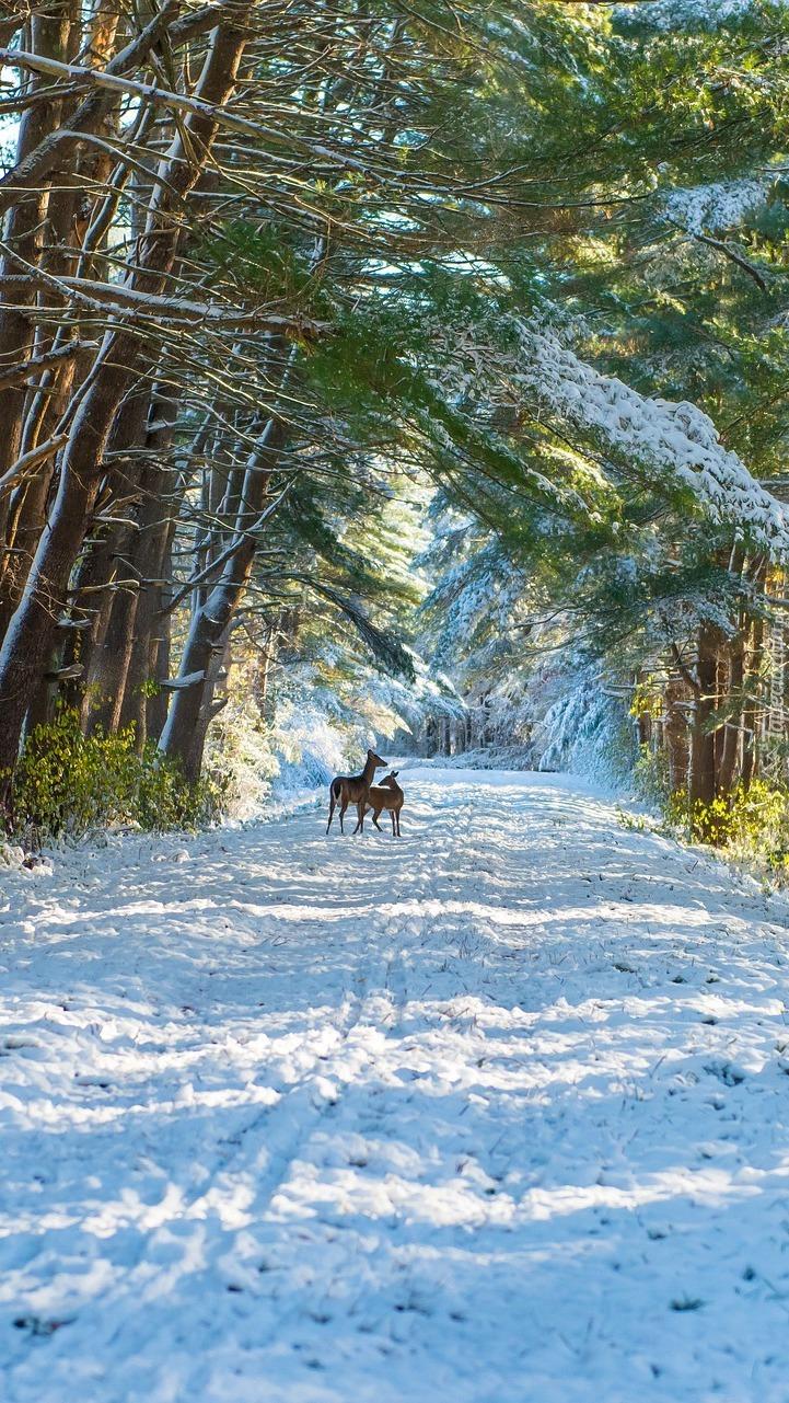 Sarny na zaśnieżonej leśnej drodze