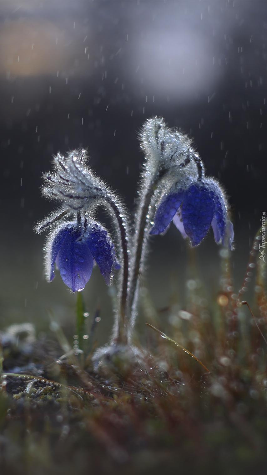 Sasanki w deszczu