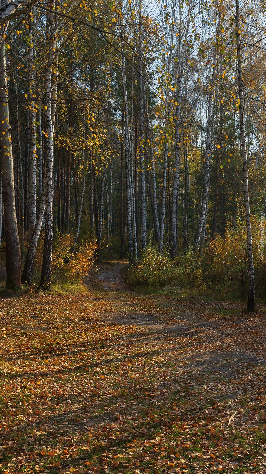Ścieżka leśna między brzozami