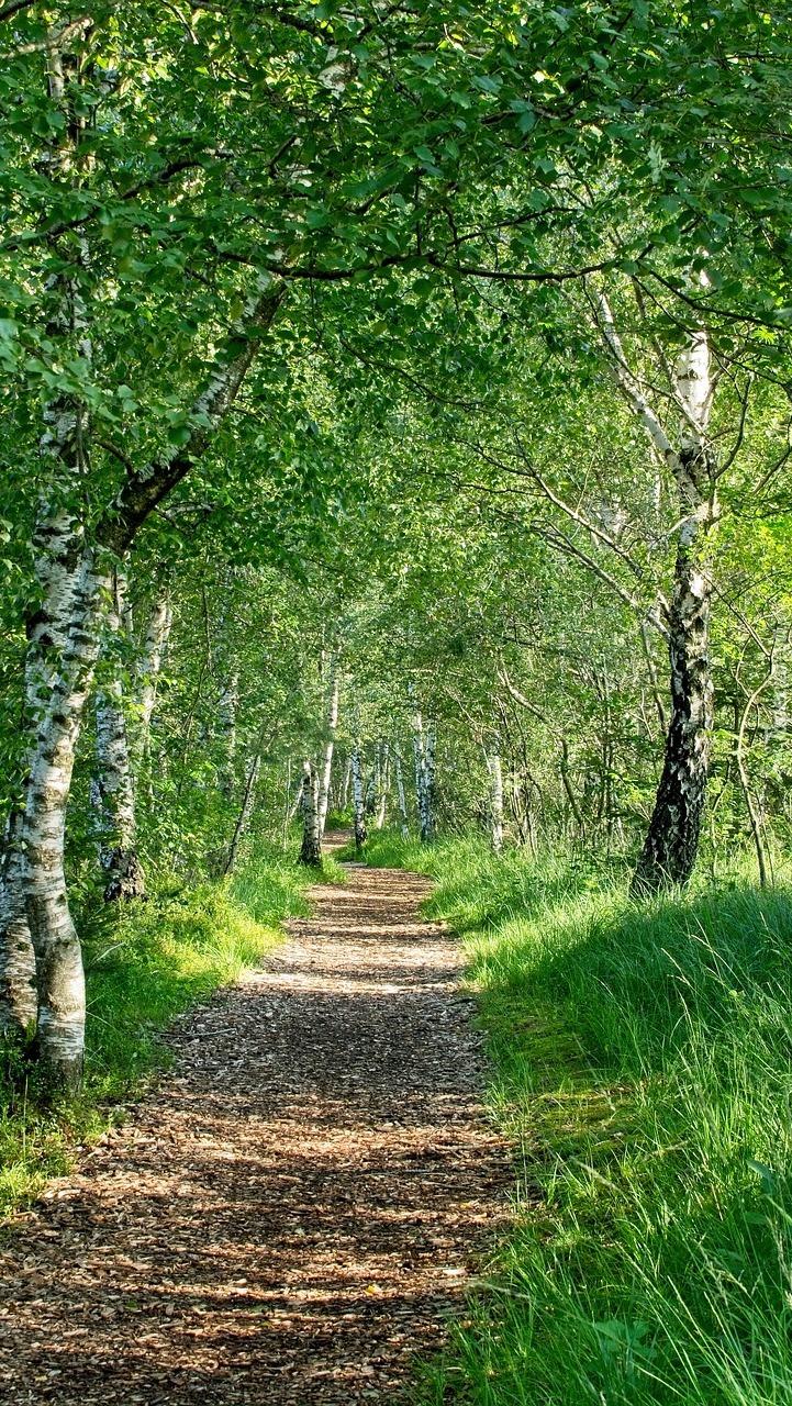Ścieżka pod brzozami