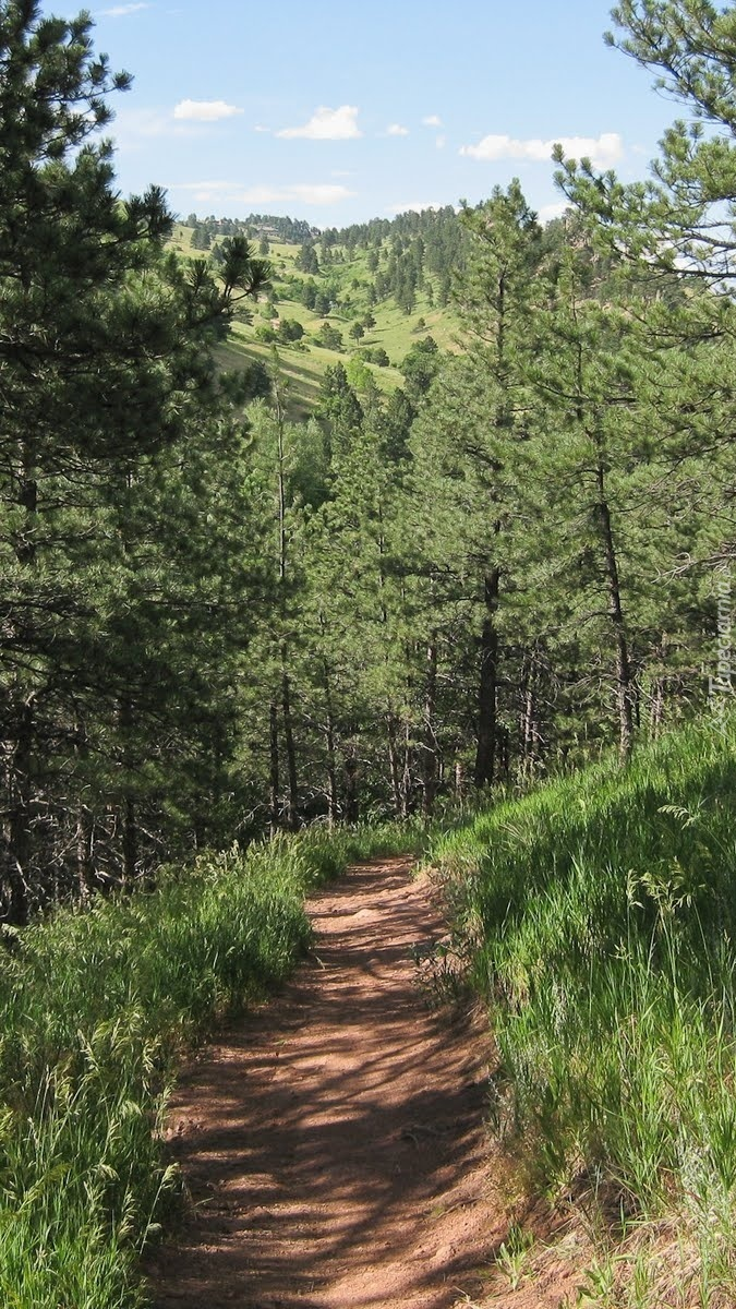 Ścieżka  w sosnowym lesie