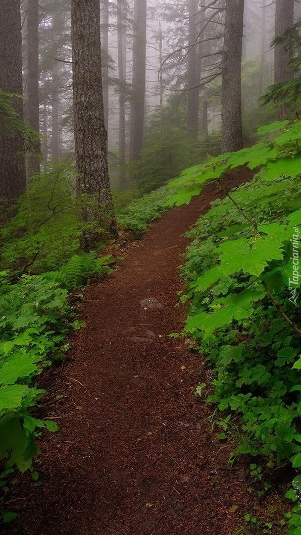 Ścieżka w zamglonym lesie