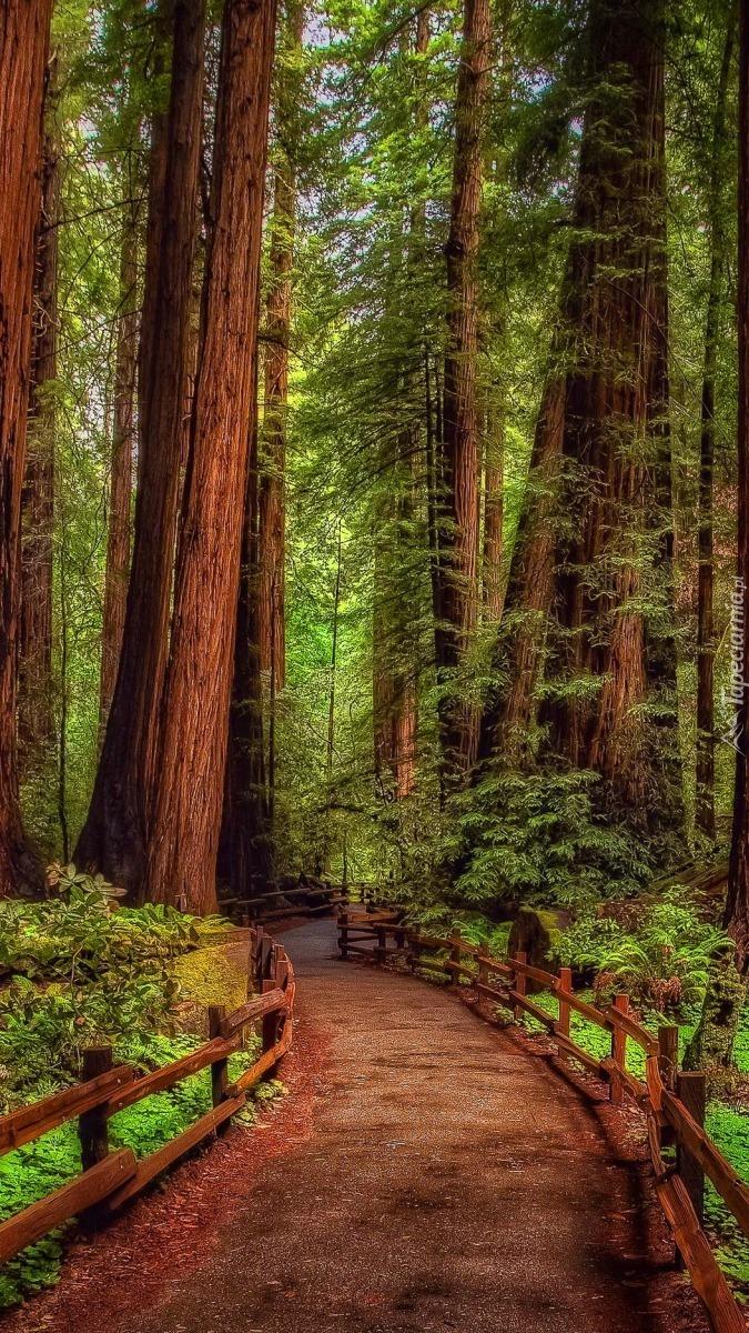 Sekwoje w Parku Narodowym Redwood