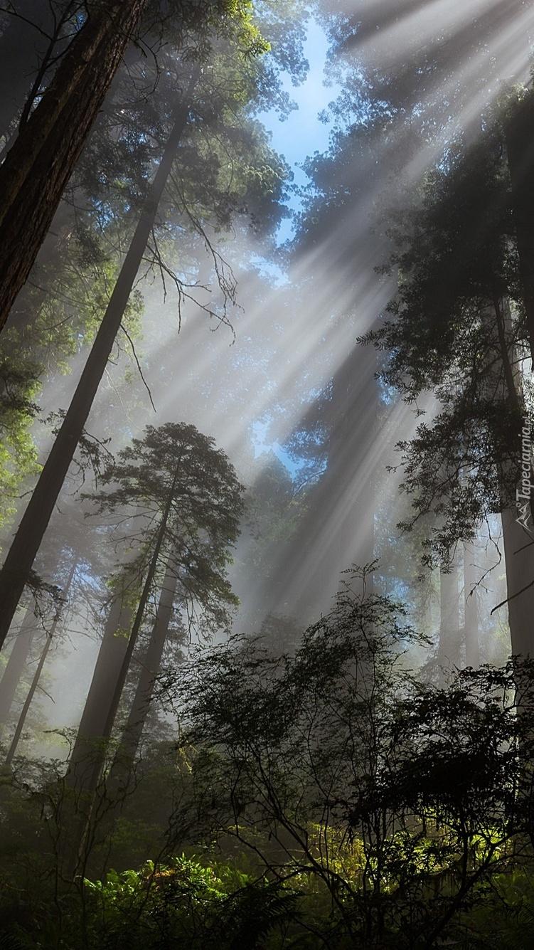 Sekwoje we mgle