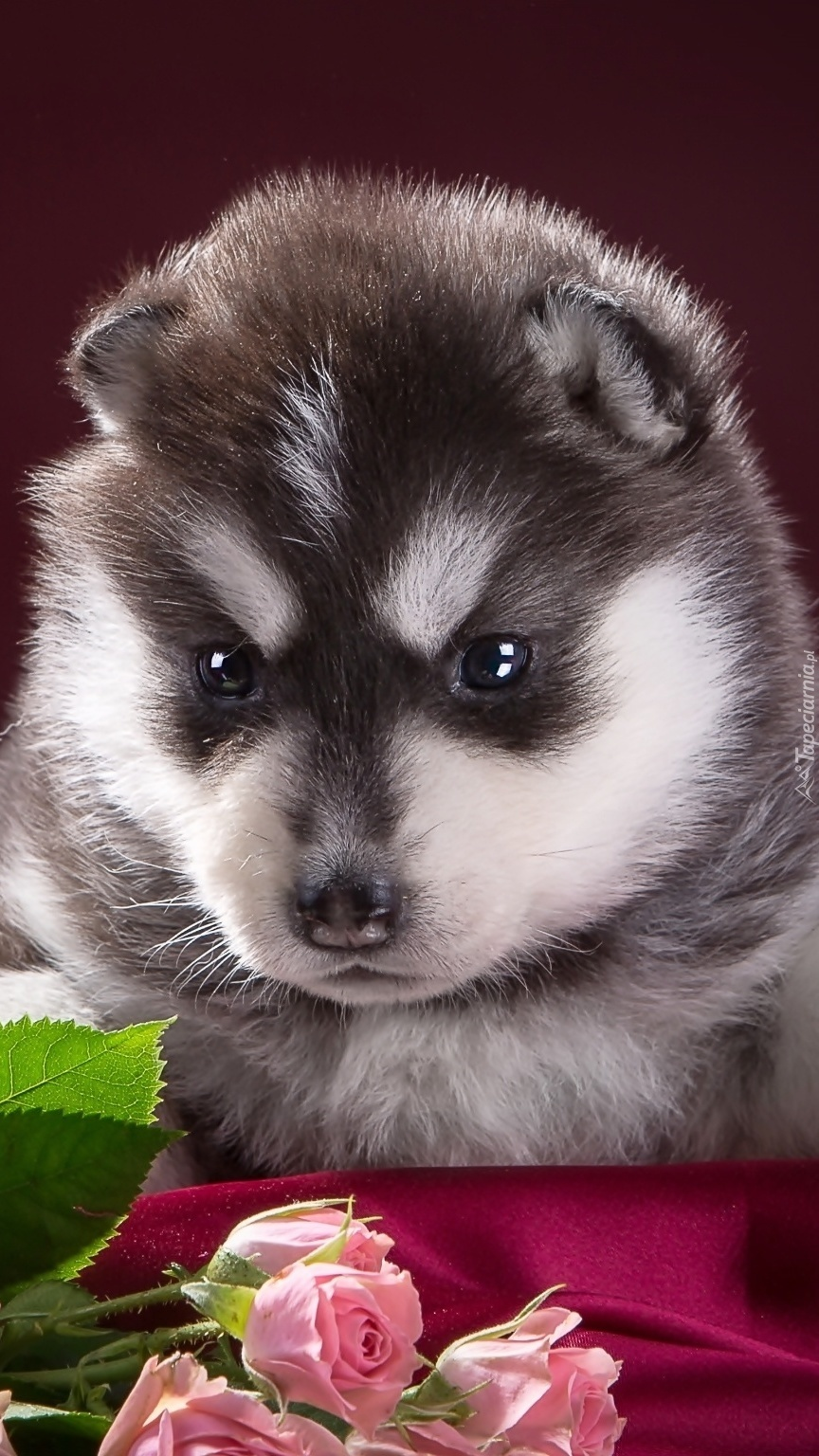 Siberian husky i róże