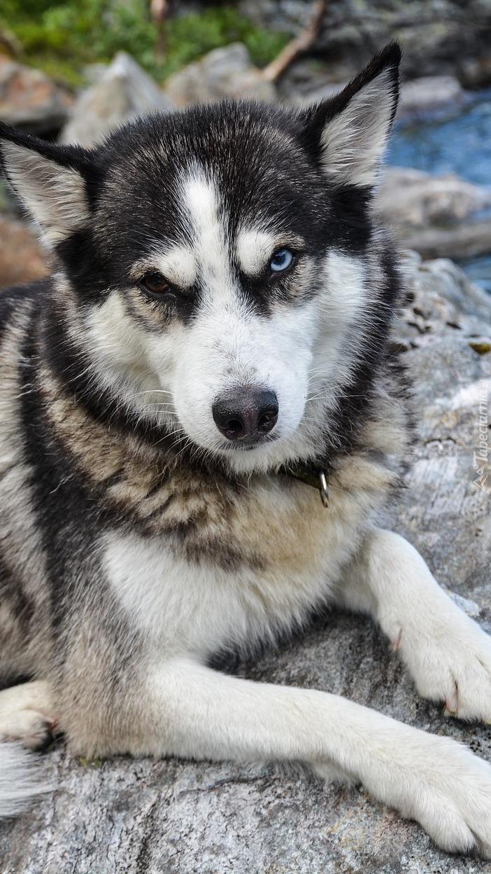 Siberian husky na kamieniu
