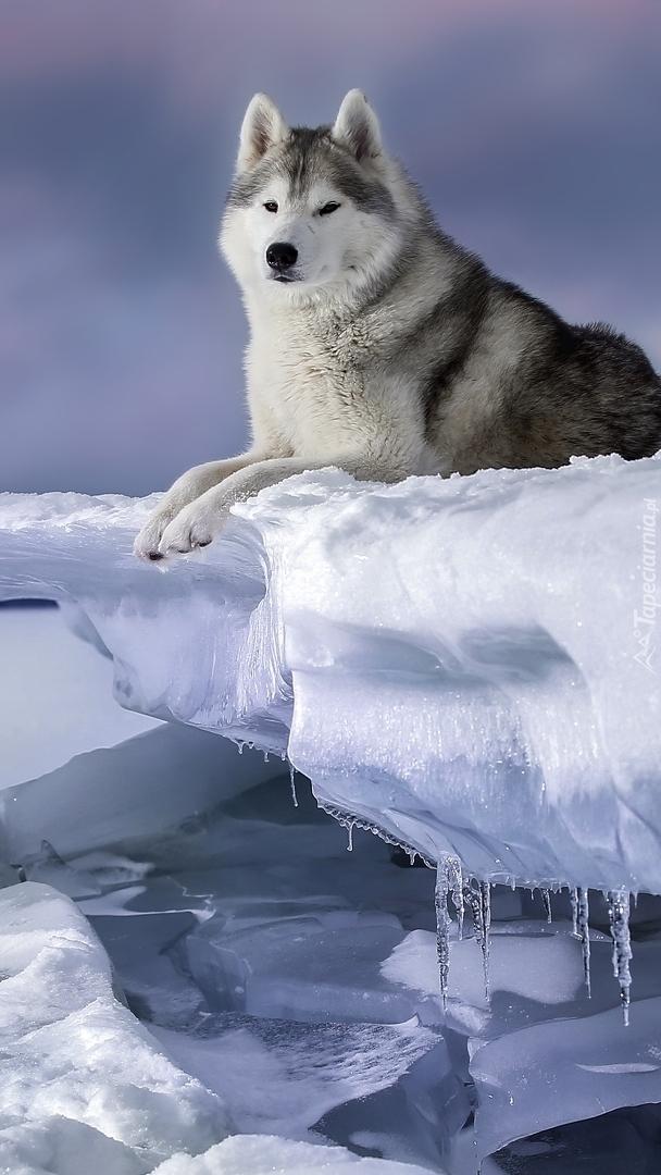 Siberian husky na śniegu