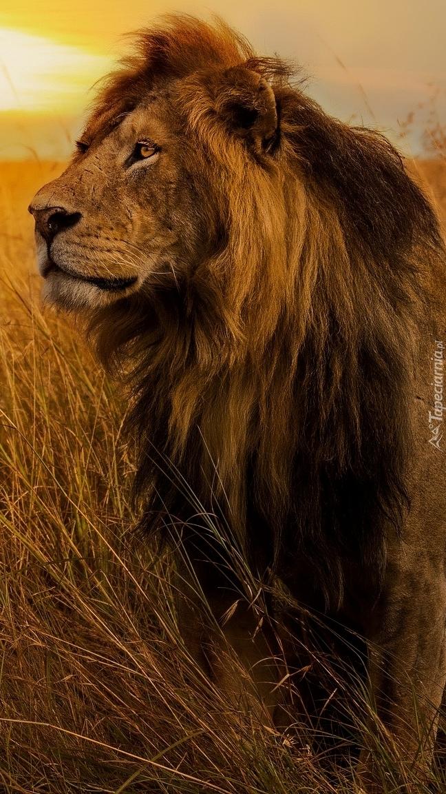 Siedzący lew w trawie