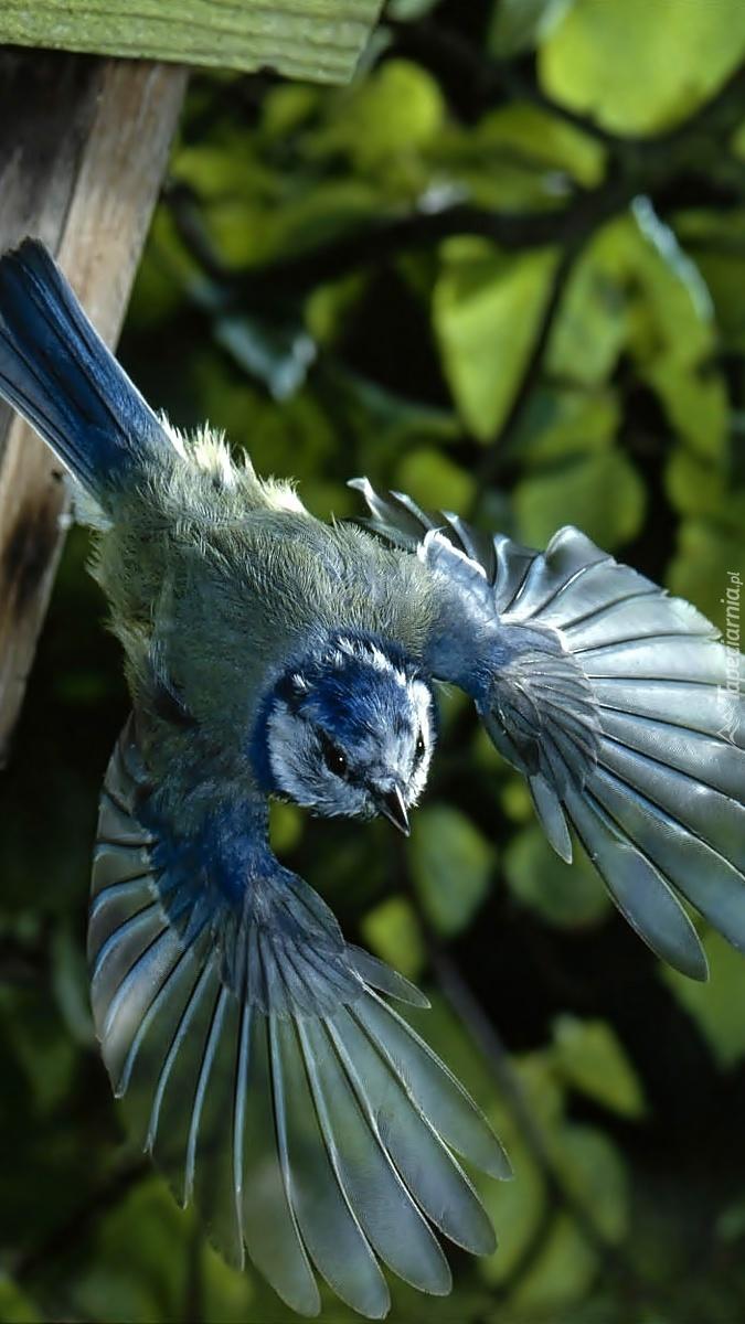 Sikora modra podczas lotu