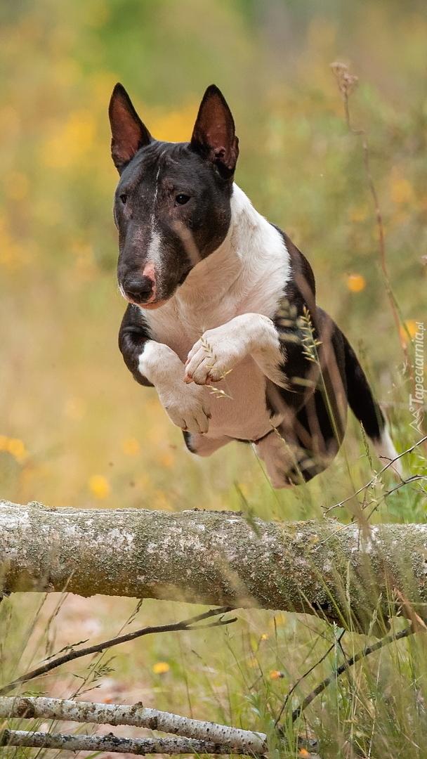 Skaczący bulterier
