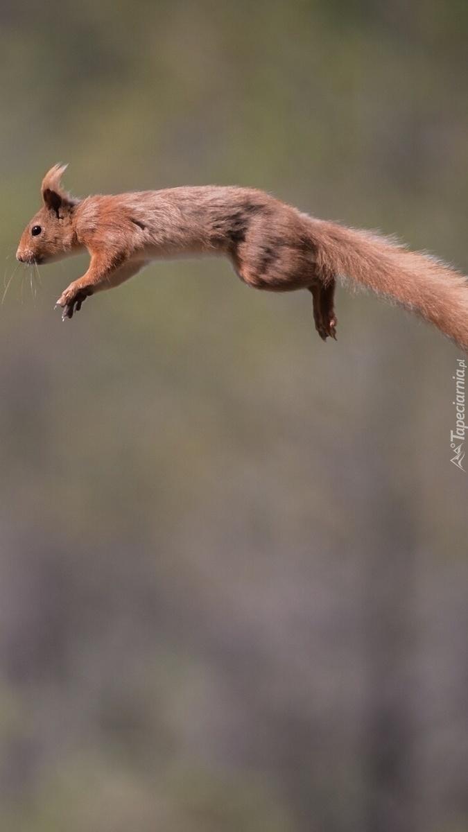 Skoczna wiewiórka