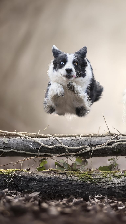 Skok border collie