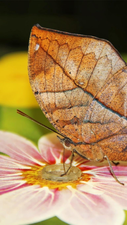 Skrzydła motyla wyglądające jak liście