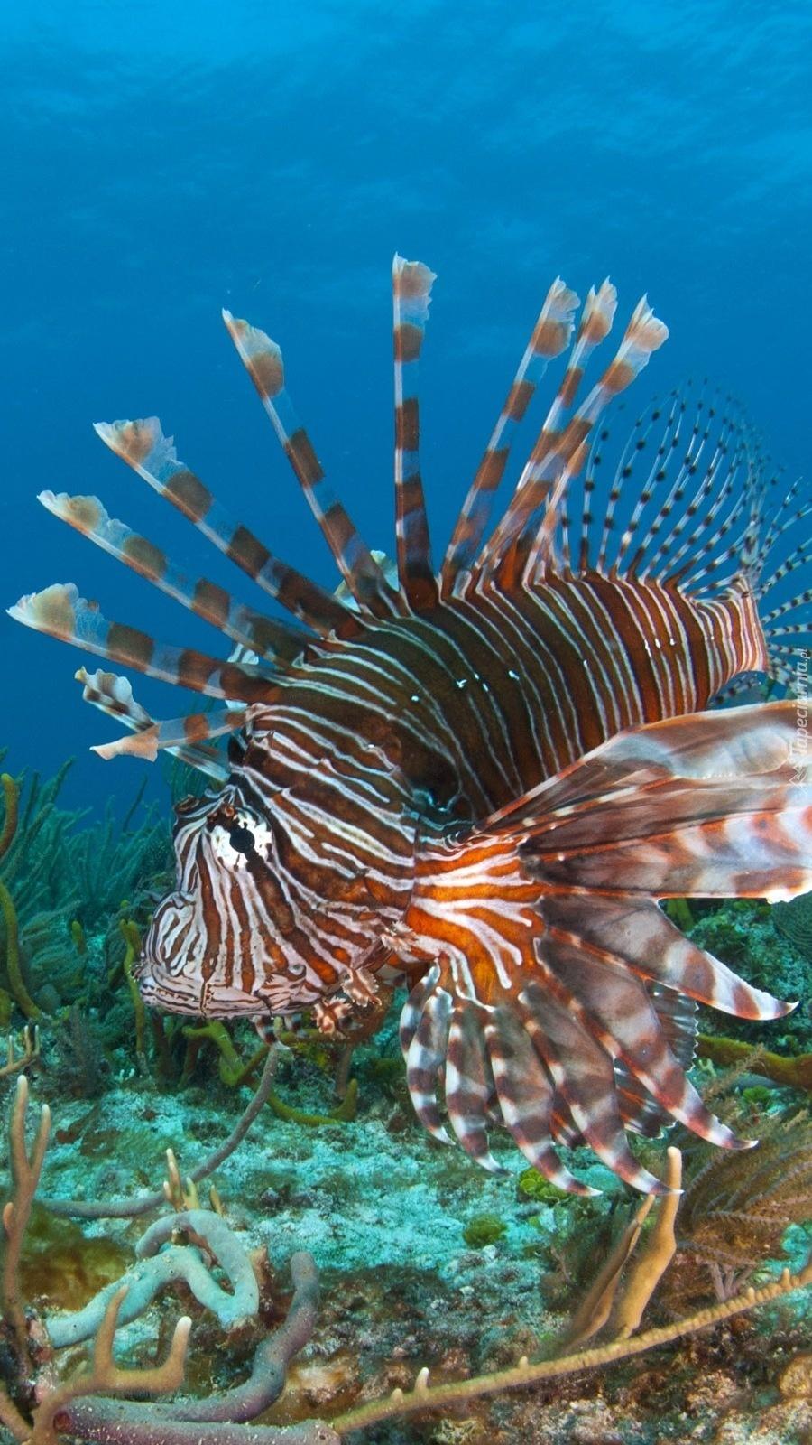 Skrzydlica na rafie koralowej