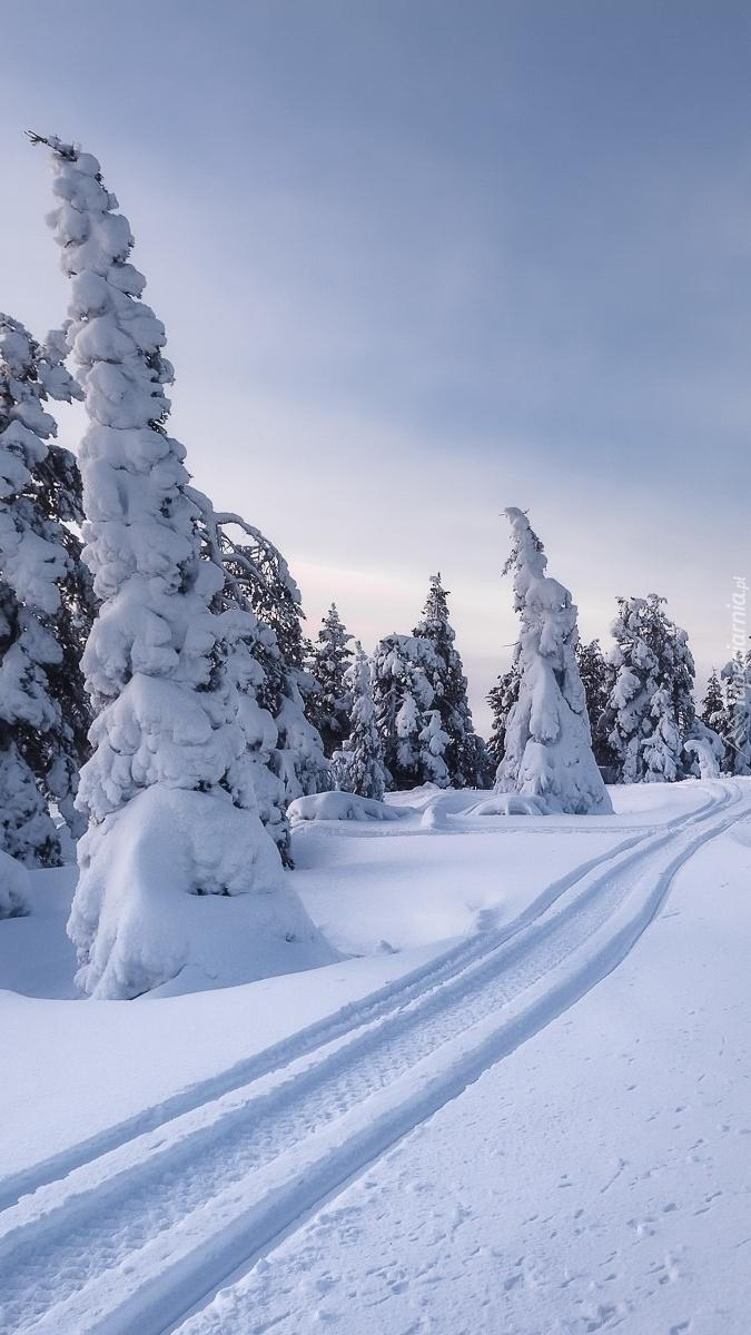 Ślady na śniegu pośród ośnieżonych świerków