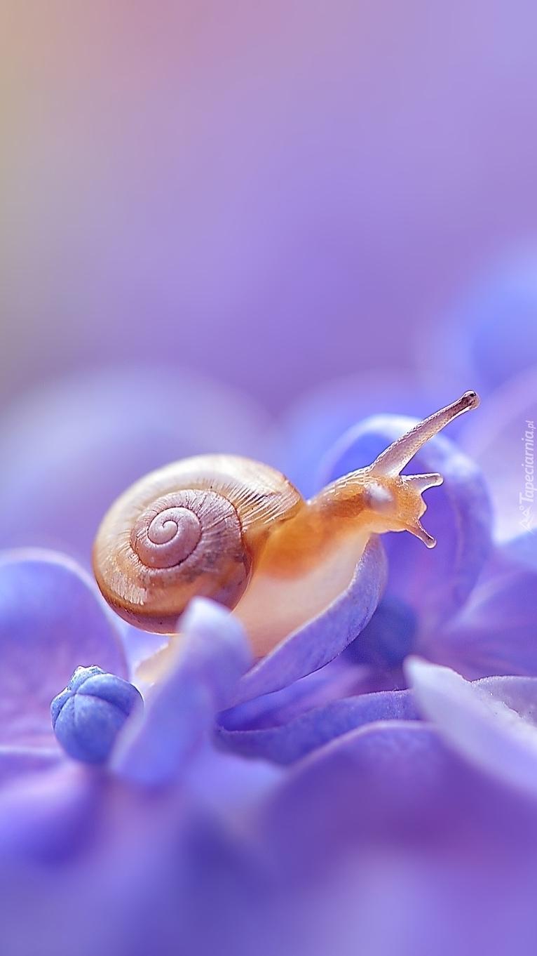 Ślimak na kwiatku hortensji