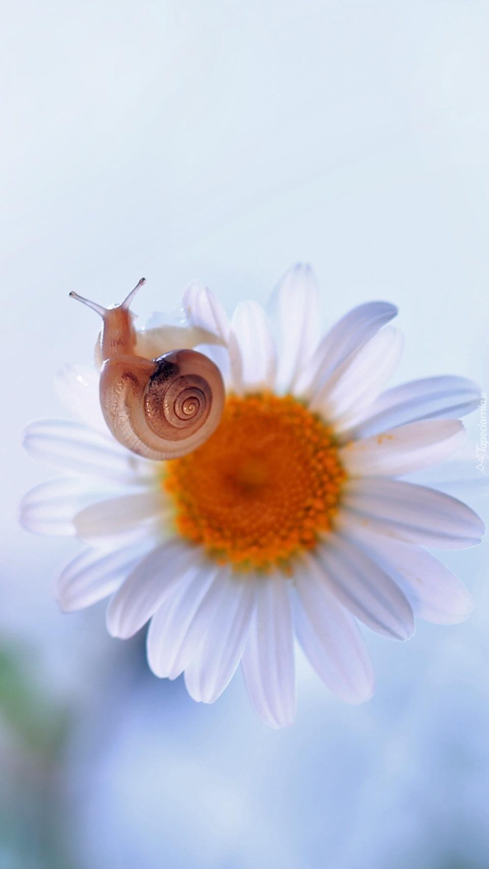 Ślimak w odwiedzinach u kwiatka