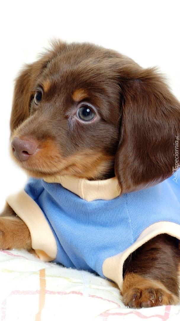 Słodki szczeniak w niebieskim ubranku
