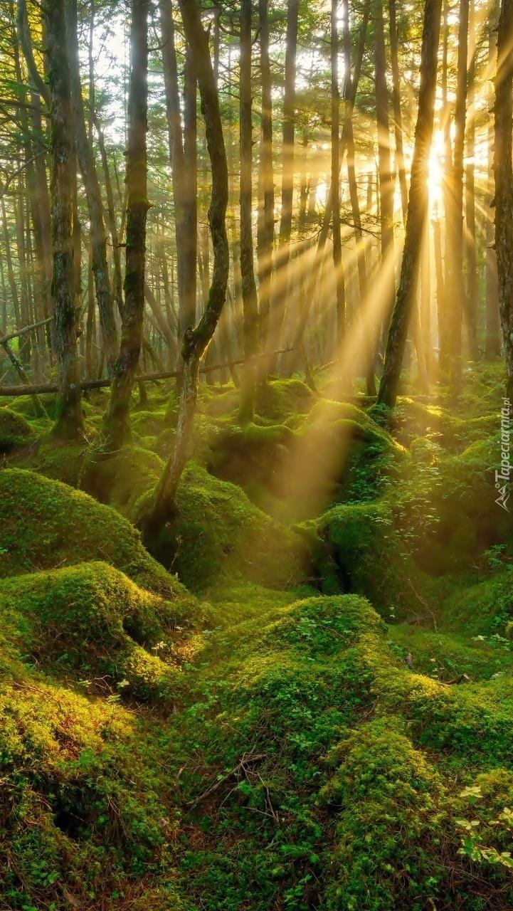 Słońce rzucające swe promienie na leśny mech