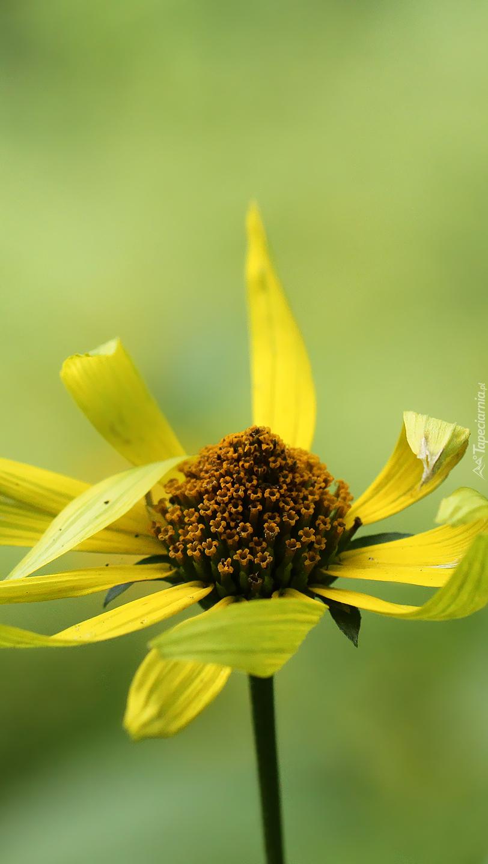 Słoneczniczek szorstki żółty