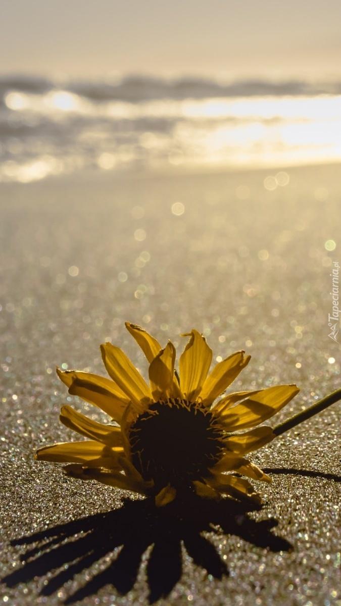 Słonecznik na piasku w blasku słońca